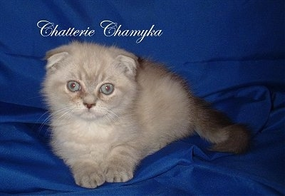 Chatterie Chamyka the Foldex Cat is laying on a blue backdrop. The words'Chatterie Chamyka' is overlayed in white cursive letters