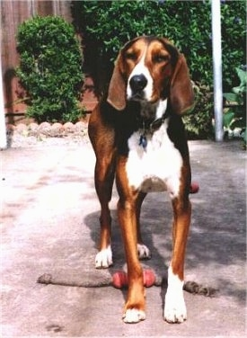 A Finnish Hound is walking across a cement patio and standing overtop of a sock toy.