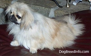 Left Profile - A tan with white and black Pekingese is sitting on a leather ottoman and it is looking to the left.