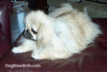 Left Profile - A tan with white and black Pekingese is sitting on a leather ottoman and it is looking to the left. It looks like a stuffed toy.