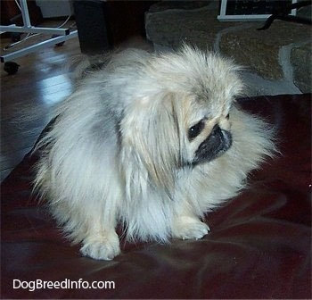 A tan with white and black Pekingese is sitting on a leather ottoman and it is looking down and to the right.