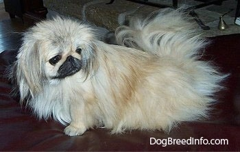 The left side of a tan with white and black Pekingese is sitting across a leather ottoman and it is looking to the right of itself.
