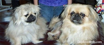 Two tan with white and black Pekingese are laying on a couch and behind it is a person in a purple shirt and blue jeans.