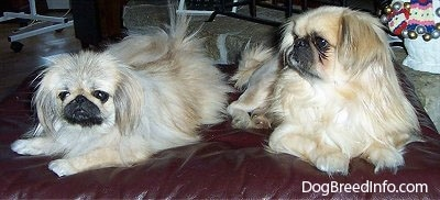 Two tan with white and black Pekingese are laying on a leather ottoman. One is looking forward and the one to the right is looking to the left.