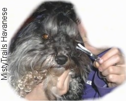 Close up - A person is holding a black with grey and white dog in their left hand and in their right hand the person is holding a pair of blunt tipped scissors.
