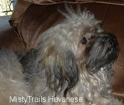 The right side of a longhaired, grey, tan and black long haired dog is laying on a couch and it is looking up and to the right.