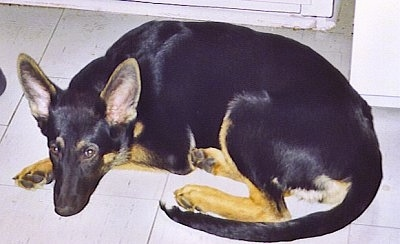 A black with tan German Shepherd puppy is laying down on a tiled floor