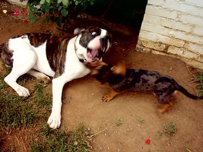 The laying white with brown brindle American Bulldog is playing with a  Dachshund. They are biting at each other outside next to a white brick house.