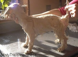 A wet dog that is standing on a table in front of an open window. There is a person posing the dog.