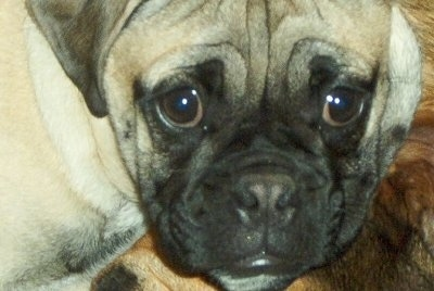 Close up head shot - A wrinkly tan with black Bull-pug.