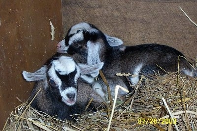 Two baby goats are laying in hay in a corner inside of a barn stall.
