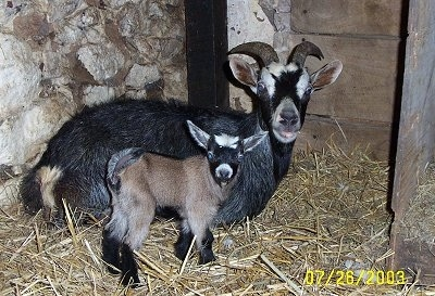A brown with black and white kid goat is standing in hay next to its mother, a black with white goat who is laying down in front of a stone wall inside of a barn stall.