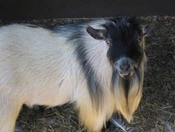 Close up - A white with black goat is standing across a grass and wood chips looking at the camera. It has a long beard.