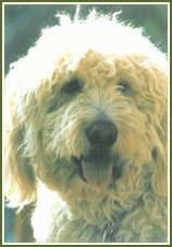 Close Up - The face of a Goldendoodle with its tongue out