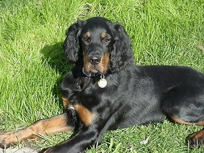A black and tan Gordon Setter puppy is laying in grass looking forward