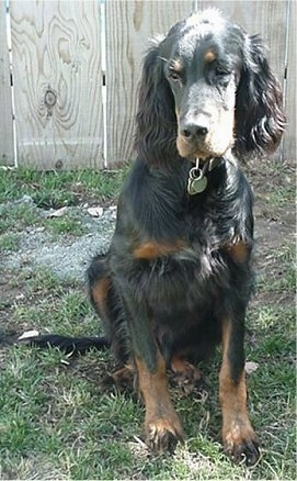 A black and tan Gordon Setter is sitting in grass and there is a wooden fence behind it
