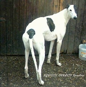 Greyhounds (English Greyhounds)