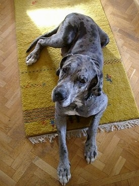 A blue merle Great Dane is laying on a green throw rug on a hardwood floor and looking up.