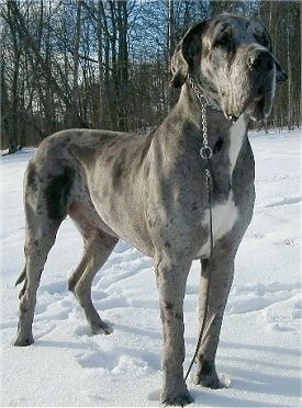 A blue merle Great Dane is wearing a choke chain collar standing in snow and behind it is a line of trees