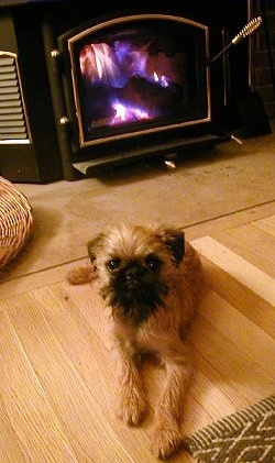 A tan with black Belgian Griffon puppy is laying on a hardwood floor with a fireplace behind it.