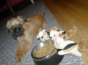 A tan with black Belgian Griffon puppy is laying on a gray throw rug on a hardwood floor next to a food bowl and there are three plush squirrels positioned to look like they are looking in the bowl