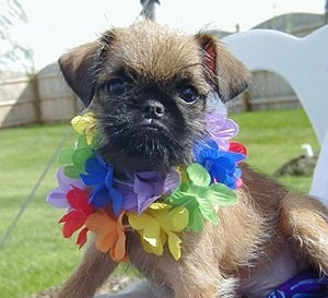 A tan with black Belgian Griffon puppy is sitting outside in a lawn chair wearing a colorful lei