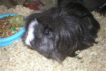 Close up - A black with white long-haired guinea pig is standing on wood chips looking forward. There is a bowl of food next to it.