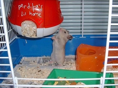 A grey hamster is standing on its back legs and it is extending its body so it can smell a hanging hide-a-way with the words - perdita's Lil home.