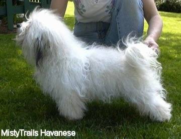 A white Havanese dog is being posed in a stack by a kneeling person behind it.