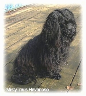 Side view - A black Havanese is sitting on a wooden deck facing the right