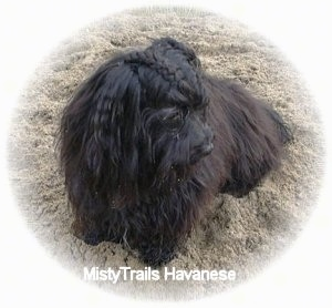 A black longhaired dog is sitting outside in grass looking down and to the right. The top of the dog's head is French braided.