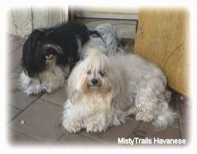 A black and white Havanese is laying next to a white Havanese on a flag stone porch.