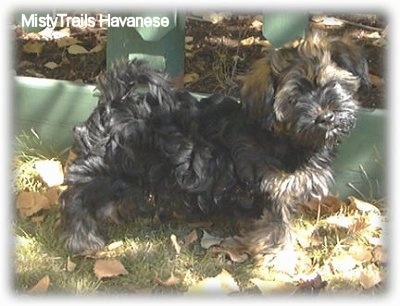 A black with tan Havanese puppy is standing in grass and fallen leaves next to a green table.