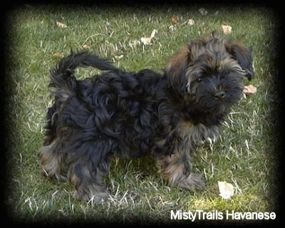 A black with tan Havanese puppy is standing on grass and looking to the right