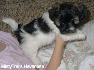A white and black Havanese puppy is laying on top of a person in a pink shirt who is holding its front end up in the air on a couch.