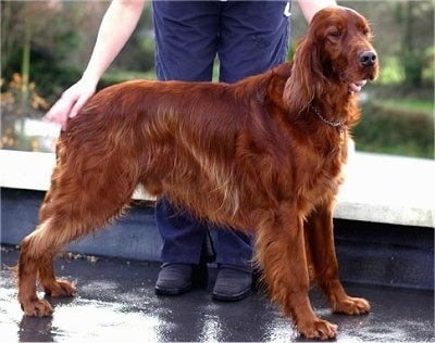 A red Irish Setter is being posed by a person behind it on a roof