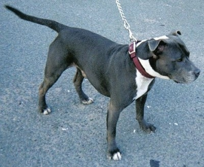 A black with white Irish Staffordshire Bull Terrier is standing on a black top surface.