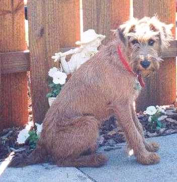 An Irish Terrier is sitting on a sidewalk in front of a wooden fence.