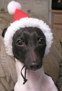 Close Up head shot - A grey with white Italian Greyhound puppy is wearing a Santa Claus hat