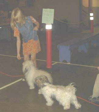 A blonde haired girl is holding her hand down in front of a white fluffy dog and behind the white fluffy dog is another dog walking behind it.