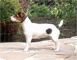Left Profile - A white with black and tan Jack Russell Terrier is standing on a stone walkway.