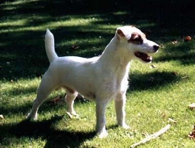 A white with tan Jack Russell Terrier is standing in grass and there is a stick in front of it. The Jack Russell Terriers mouth is open and its tail is up