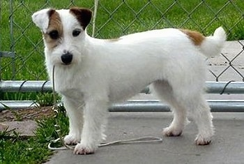 Belgium Import registered with FCI as Jack Russell Terrier