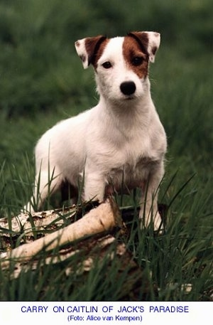 A wiry looking white with tan Jack Russell Terrier is standing in grass on top of fallen logs. The words - CARRY ON CAITLIN OF JACK'S PARADISE (Foto: Alice van Kempem) - are overlayed