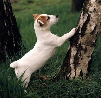 A white with tan Jack Russell Terrier is jumped up with its front paws up on a tree.