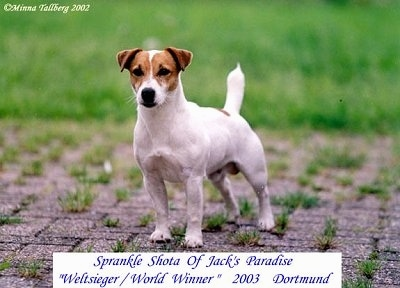Front view - A white with tan Jack Russell Terrier is standing on a brick patio with grass growing between the bricks and grass behind it. The words - SPRANKLE SHOTA OF JACK'S PARADISE 'Weltsieger/World Winner' 2003 Dortmund - are overlayed
