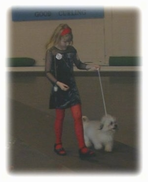 A blonde haired girl is walking a fluffy white dog down a carpet at a dog show.