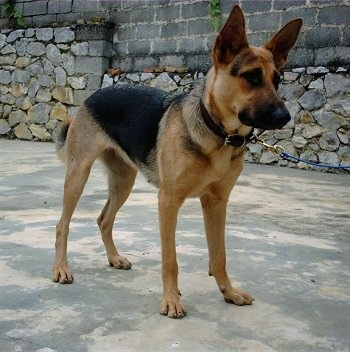 A black and tan Kunming Dog is standing on a sidewalk with a stone and cinder block wall behind it.