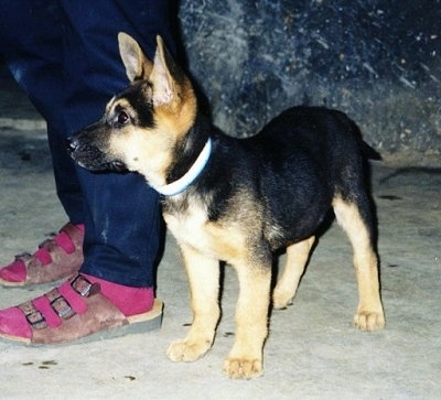 A black and tan Kunming puppy is sitting on a concrete surface next to a person wearing blue jeans, pink socks and brown sandals.