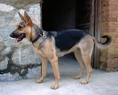 Left Profile - A short-haired black and tan Kunming Dog is standing in front of a stone and brick house. Its mouth is open and its tongue is out